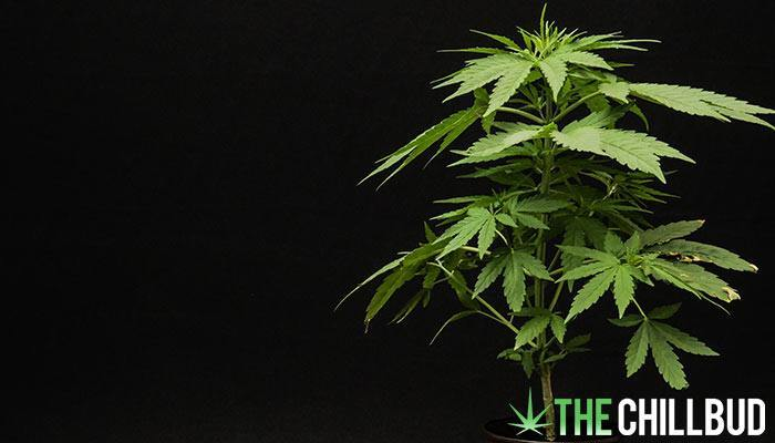 9-Cool-Facts-About-Weed-7x4