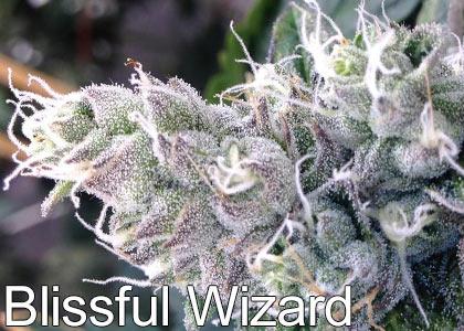 Blissful-Wizard-High-THC-Strains