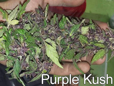 Purple-Kush-sleep-strains