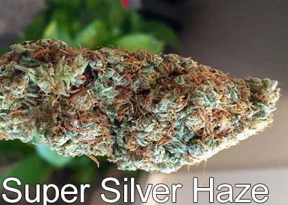 Super-Silver-Haze-high-thc-pot