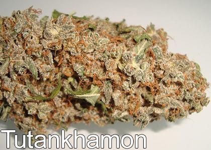 Tutankhamon-marijuana-strain-aka-king-tut