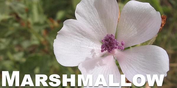 Marshmallow-herb