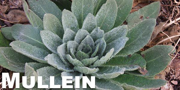 Mullein-legal-herbs