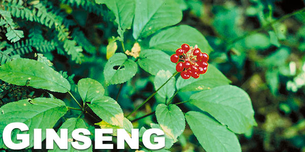 Smoking-ginseng-benefits