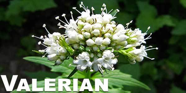 Valerian-legal-herbs-to-vaporize