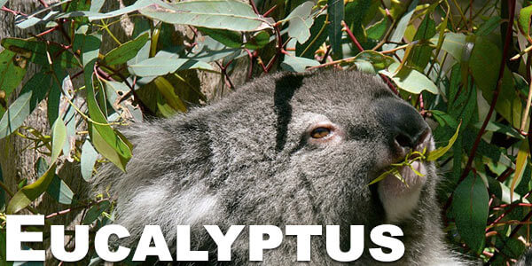 eucalyptus-smoking