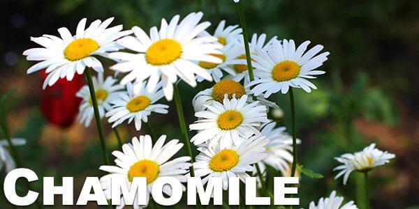 vaporizing-chamomile