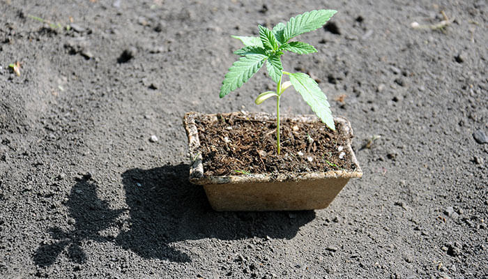 How-to-germinate-a-cannabis-seed