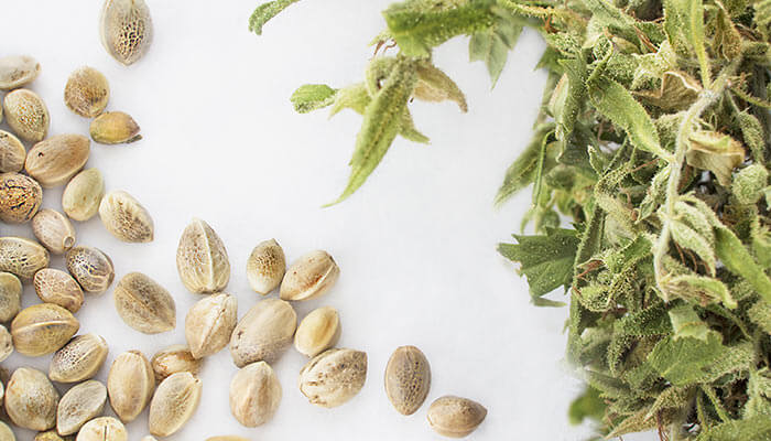 Understanding-the-Different-Varieties-of-Cannabis-Seeds