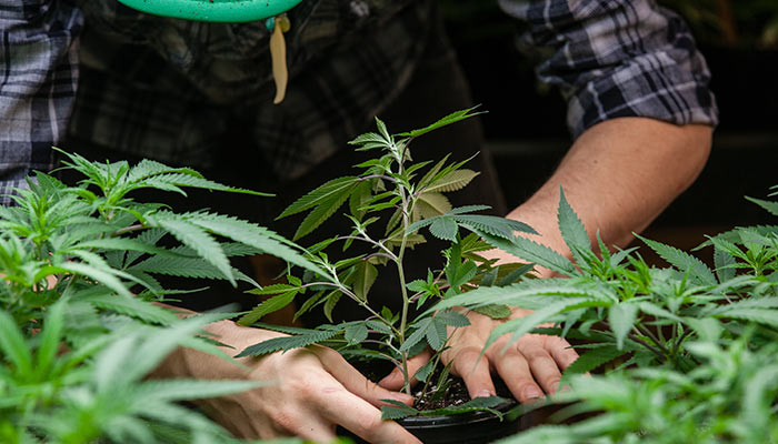 Washington-State-Sees-Decrease-in-Illegal-Cannabis-Production