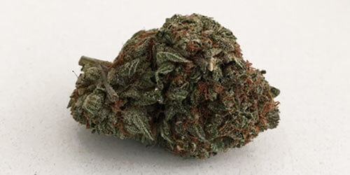 Great-White-Shark-weed