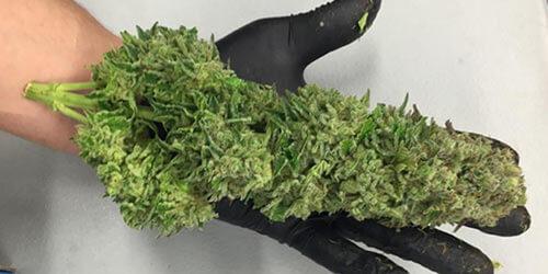Sour-Diesel-marijuana-strain
