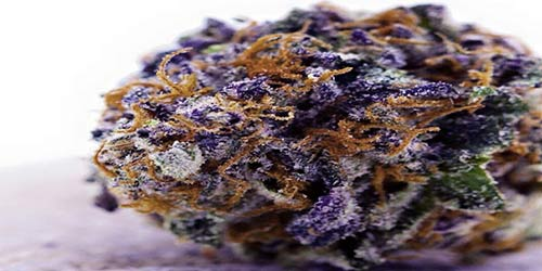 Sour-Grape purple marijuana