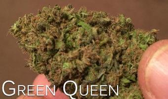 Green-Queen-weed-strain