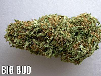 Big-Bud-cannabis-strain-indica
