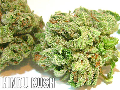 Hindu-Kush-weed