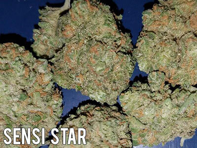 Sensi-Star-cannabis