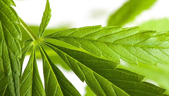 cannabis-vs-acetaminophen