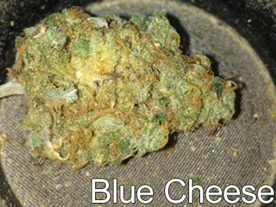 Blue-Cheese-indica