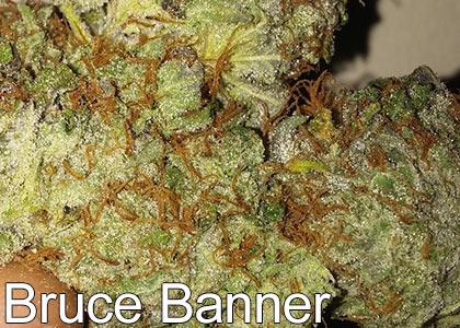 Bruce-Banner-Cannabis-Strain