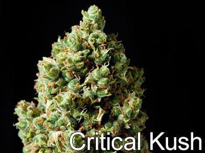Critical-Kush