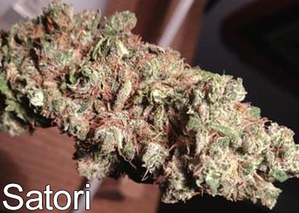 High-THC-marijuana-strains-Satori