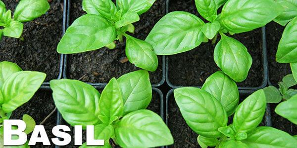 Basil---legal-herbs-to-vaporize