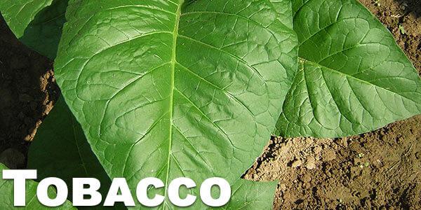 Tobacco-benefits-of-vaporizing