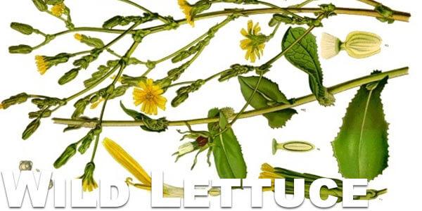 Wild-Lettuce