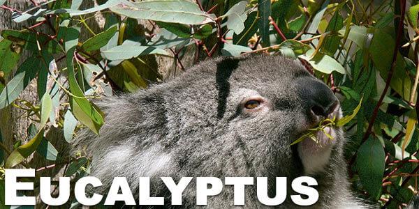 eucalyptus-smoking