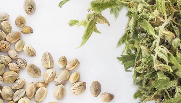 Understanding-the-Different-Varieties-of-Cannabis-Seeds