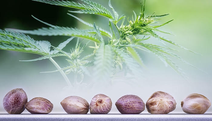 buying-cannabis-seeds-online