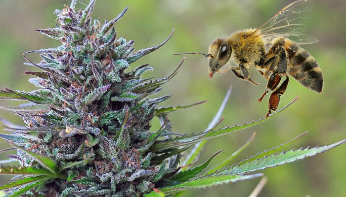 Cannabis-infused-honey-recipe-canna-honey