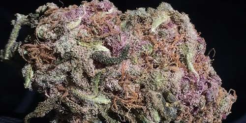 Purple-Cheese weed
