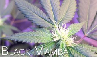 Black-Mamba-weed