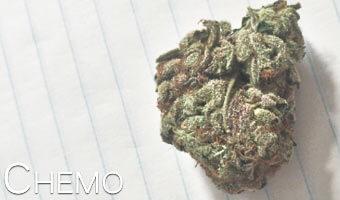Chemo-marijuana-strain
