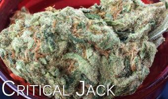 Critical-Jack-cannabis