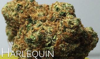 Harlequin-high-CBD-marijuana-strain