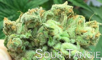 Sour-Tangie-strain-for-anxiety