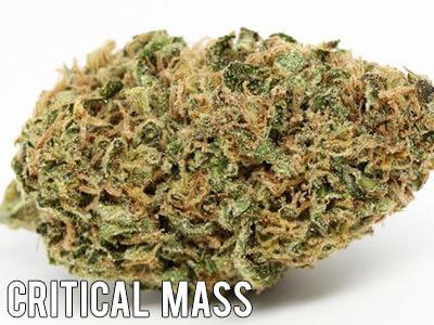 Critical-Mass-indica