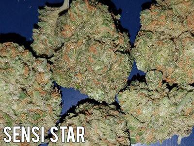 Sensi-Star-cannabis