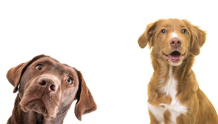 Side-Effects-of-CBD-for-Dogs
